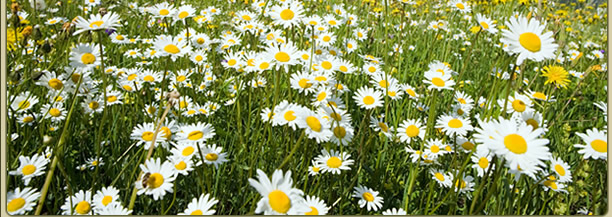 Picture of a mountain meadow of flowers
